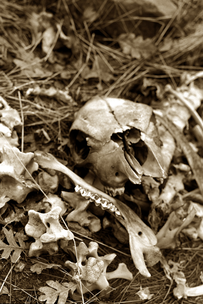 Skull in a Pile of Leaves